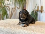 ララcs & デンゼルAUST.CHの子犬 ブラタン 男の子(3)