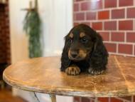 ララcs & デンゼルAUST.CHの子犬 ブラタン 男の子(1)