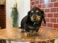 ララcs & デンゼルAUST.CHの子犬 ブラタン 男の子(2)