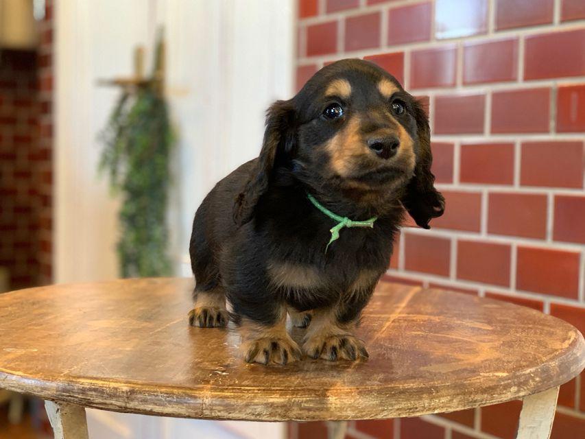 ミニチュア ダックスフンド ララcs & デンゼルAUST.CHの子犬 ブラタン 男の子(2)
