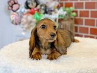 ルーシー & ジムダンデイの子犬 レッド 女の子(1)