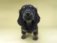 ターシャ & ブルースの子犬 ブラックイエロー(ブラッククリーム) 男の子(1)