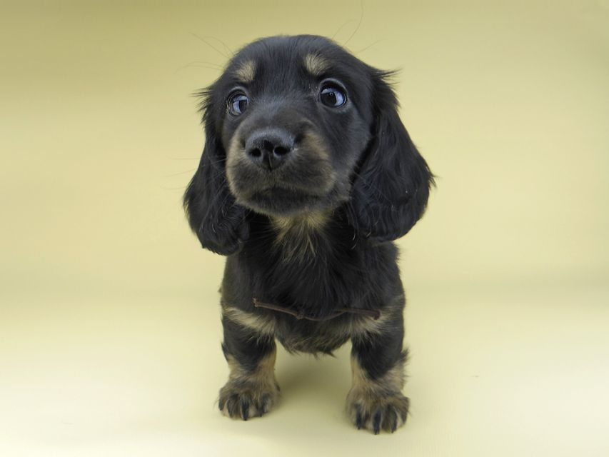 ミニチュア ダックスフンド ターシャ & ブルースの子犬 ブラックイエロー(ブラッククリーム) 男の子(1)