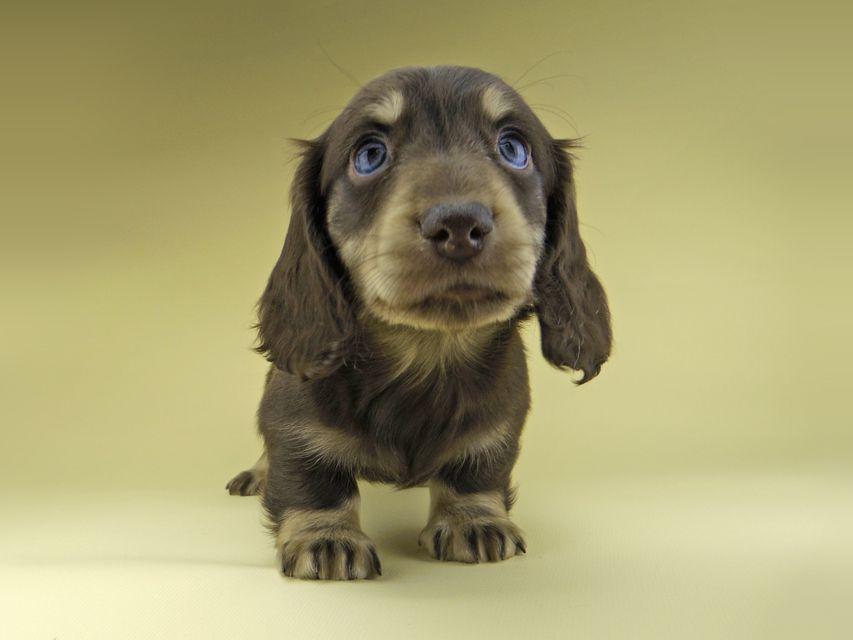 ミニチュア ダックスフンド ターシャ & ブルースの子犬 チョコイエロー(チョコクリーム) 男の子
