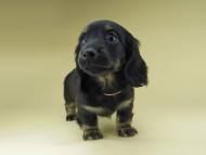 ターシャ & ブルースの子犬 ブラックタン 女の子