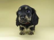 ターシャ & ブルースの子犬 ブラックイエロー(ブラッククリーム) 女の子