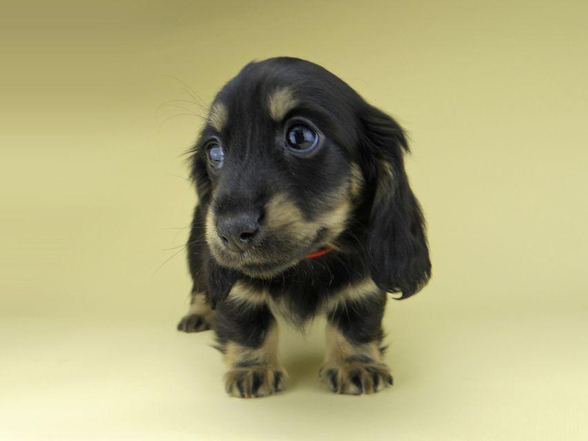 ミニチュア ダックスフンド ターシャ & ブルースの子犬 ブラックイエロー(ブラッククリーム) 女の子
