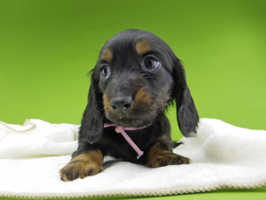 ミニチュア ダックスフンド ルチアhp & ブルースの子犬 ブラタン 女の子(2)