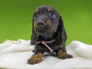 ルチアhp & ブルースの子犬 ブラタン 女の子(2)