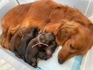 ルーシー 5月7日 子犬を出産しました