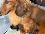 SAKURA 2月25日 子犬の出産