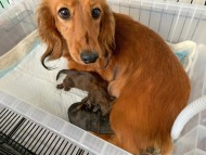 モリー 6月5日 子犬の出産