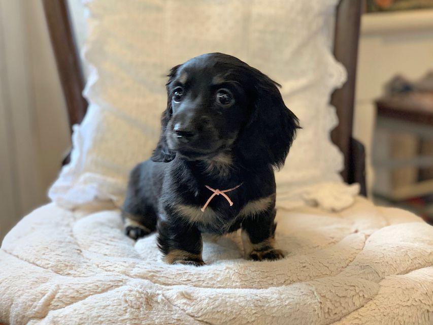 ミニチュア ダックスフンド ターシャ & ブルースの子犬 ブラックタン 女の子
