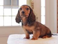 ジャジー & まもるCHの子犬 レッド 男の子(2)