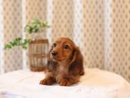 モリー & デンゼルの子犬 レッド 男の子
