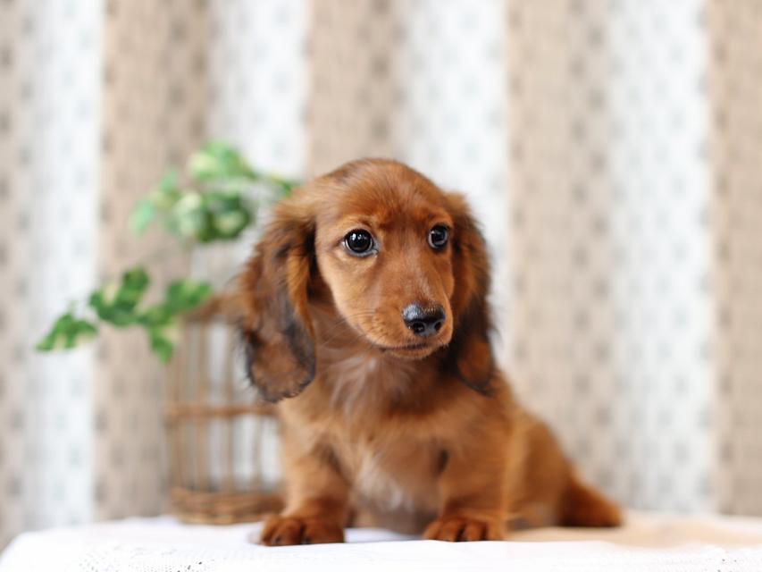ミニチュア ダックスフンド モリー & デンゼルの子犬 レッド 男の子