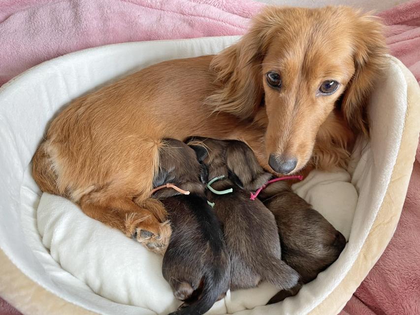 ミニチュア ダックスフンド メイプルh  5月6日 子犬を出産しました