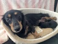 コトhp 10月19日 子犬の出産