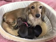 ひなプリ 1月22日 子犬の出産