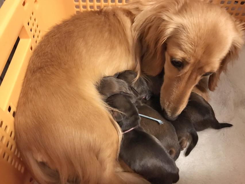 カニンヘン ダックスフンド  オリーブkk 10月31日 子犬の出産