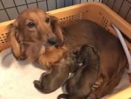 トマト 1月20日 子犬の出産