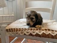 オーロラ & ロックスの子犬 イエロー(クリーム) 男の子