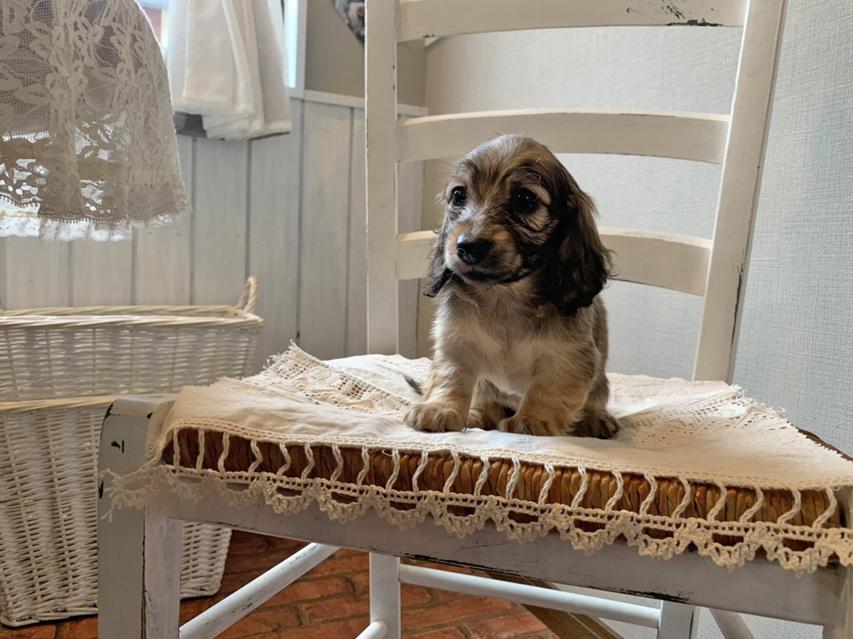 カニンヘン ダックスフンド オーロラ & ロックスの子犬 イエロー(クリーム) 女の子(2)