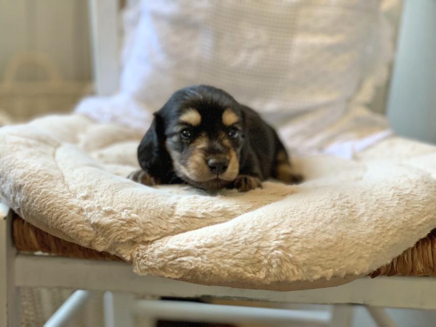 カニンヘン ダックスフンド ソフィア & ジムダンディの子犬 ブラックイエロー(ブラッククリーム) 男の子