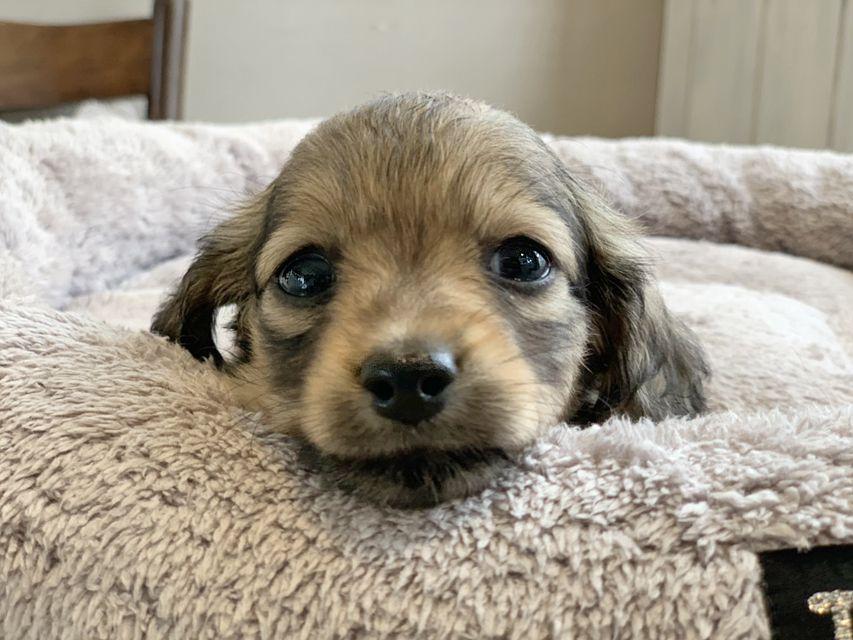 カニンヘン ダックスフンド シール & ブルースの子犬 イエロー(クリーム) 女の子(2)