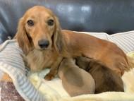 シオンcs 11月9日 子犬を出産しました