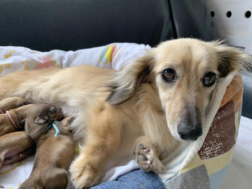 カニンヘンダックスフンド シャーロットcs 5月24日 子犬の出産