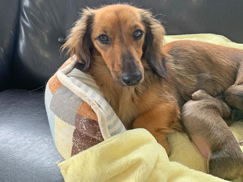 カニンヘン ダックスフンド ローリーcs 7月19日 子犬の出産