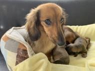 ローリーcs 7月19日 子犬の出産