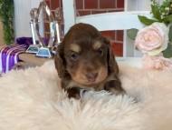 ココ&朝日の子犬 チョコイエロー(チョコクリーム) 男の子