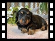 ジル & ナイトの子犬 ブラックタン 男の子
