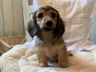 オーロラ & ロックスの子犬 イエロー(クリーム) 女の子(2)