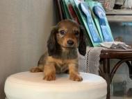 トマトkk & 竹千代の子犬 レッド 女の子