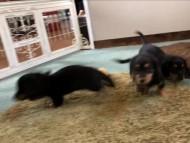 カニンヘンダックス ナンシーcs & ナイトの子犬達