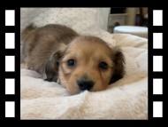 ププリン & スカッシュの子犬 ペールレッド 男の子