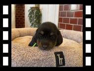 ひなプリ & ナイトの子犬 ブラックタン 男の子