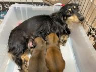 ひな 3月25日 子犬の出産