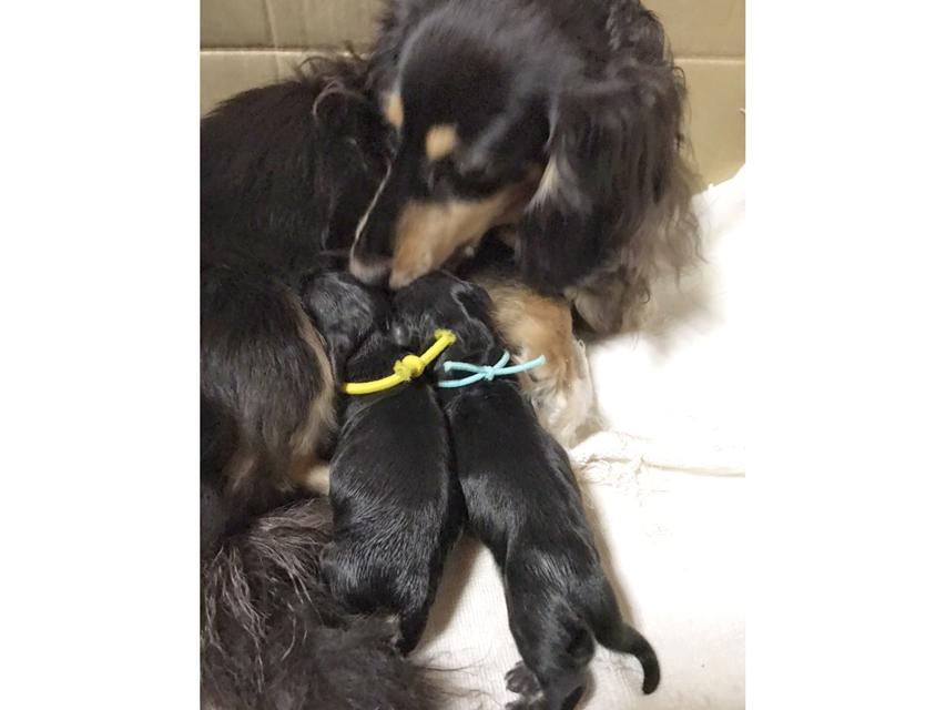 カニンヘンダックス すず 10月29日 子犬を出産しました
