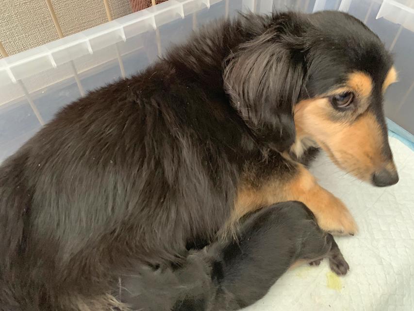 カニンヘン ダックスフンド ソフィア 4月22日 子犬の出産