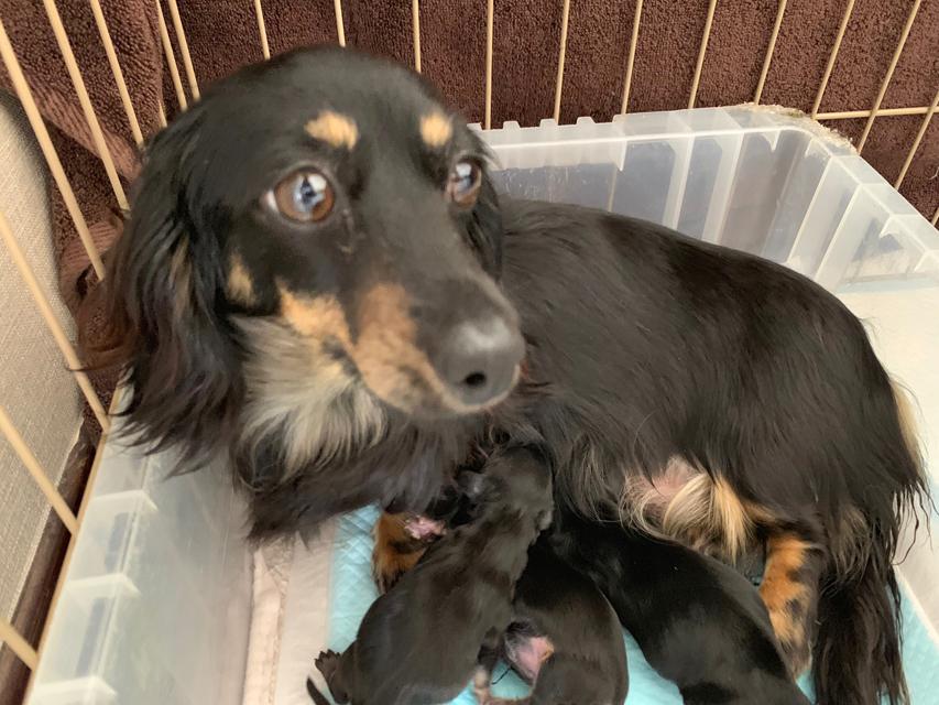 カニンヘンダックスフンド サファリ 5月2日 子犬の出産