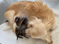 プリマ 6月11日 子犬の出産