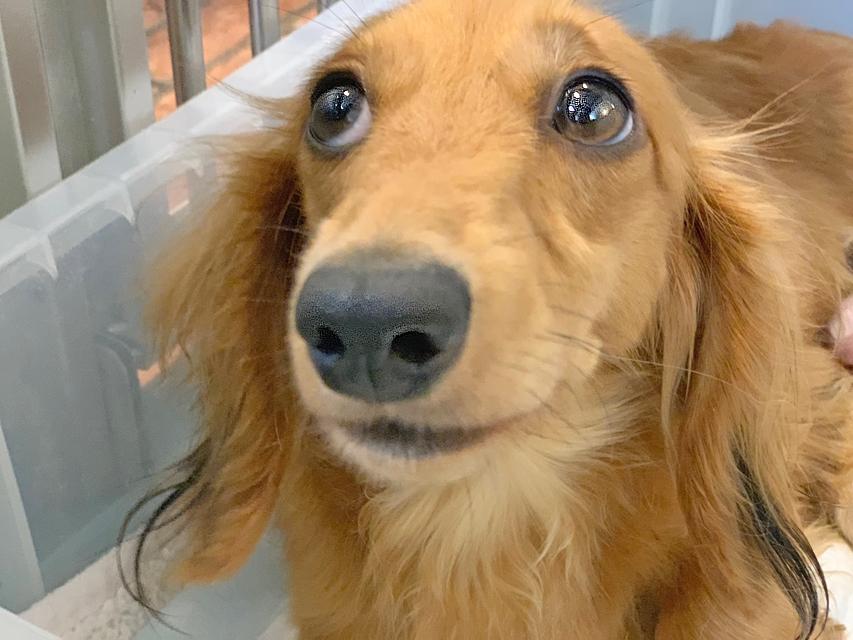 カニンヘン ダックスフンド キュア 7月20日 子犬の出産