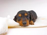 サリーアン & ジムの子犬 ブラタン 男の子