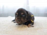 ひなプリhp & オスカルの子犬 ブラックイエロー(ブラッククリーム) 男の子