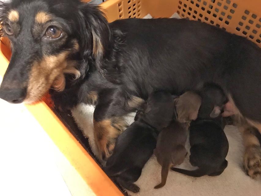 カニンヘンダックスフンド パセリ 5月21日 子犬の出産