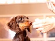 ベベ & ジャックの子犬 チョコタン 男の子(1)